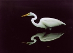 Egret in Water
