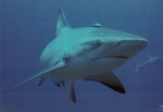 Gru�karte Reef Shark
